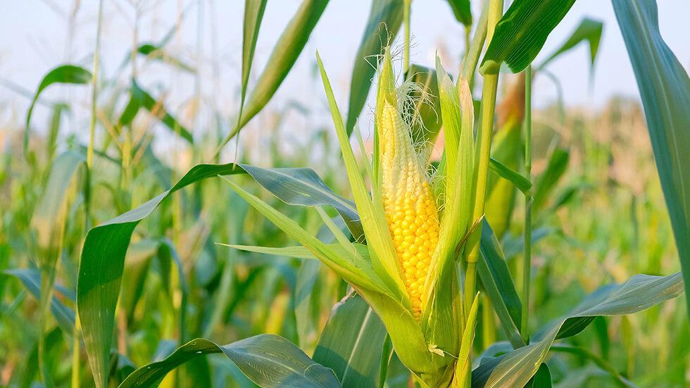 YPC corn trials in the COB magazine – Autumn edition