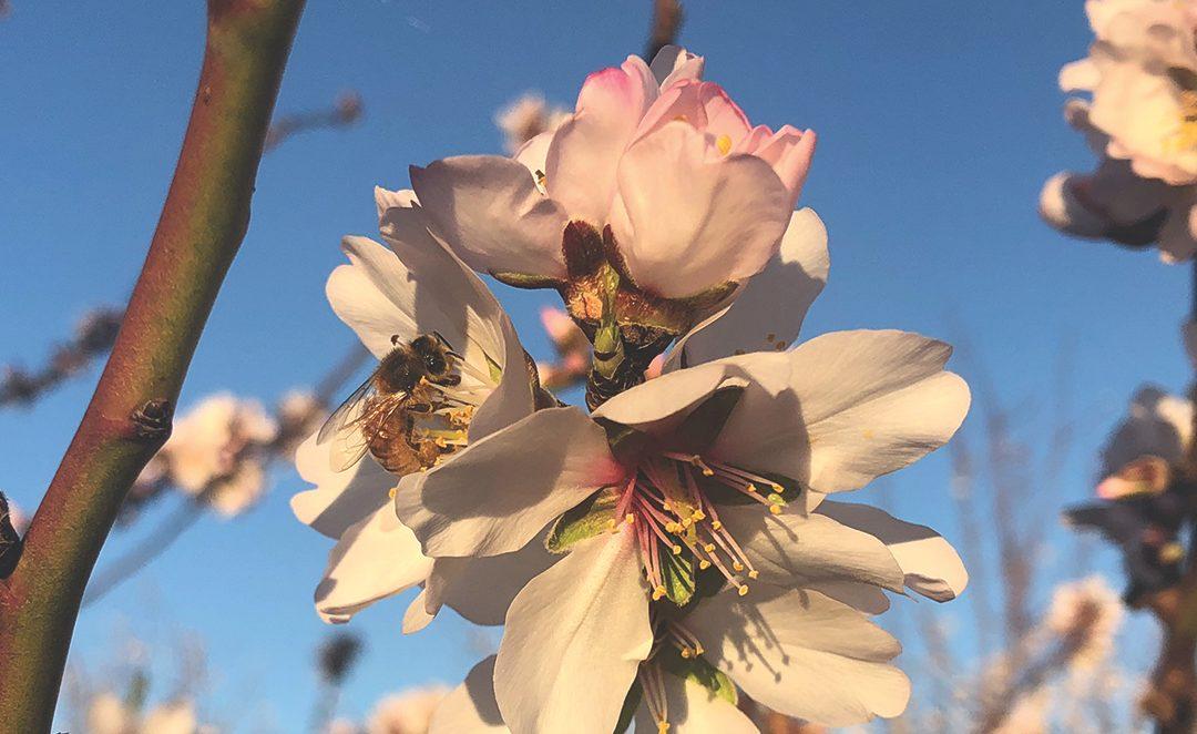 Bee in Almond Flower