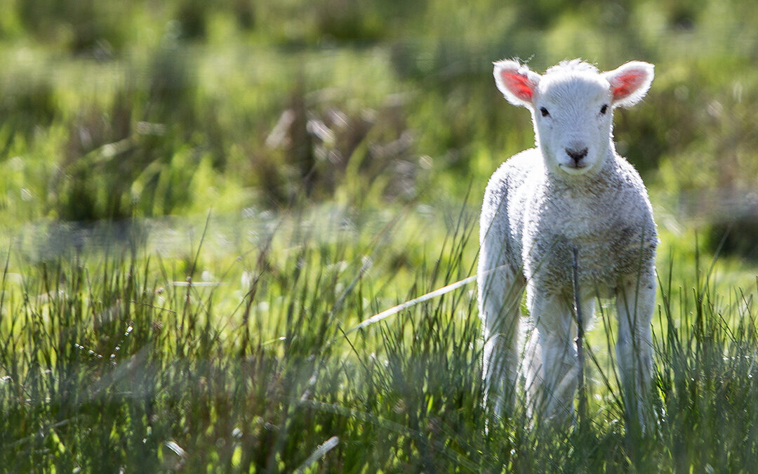 small white lamb in grass field behind fence.